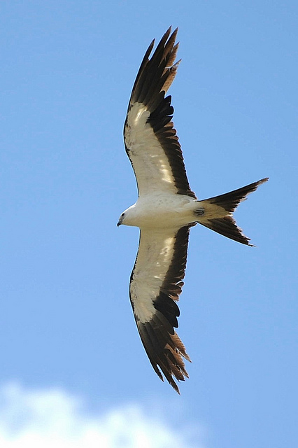 Swallow-tailed Kite (Elanoides forficatus) ©Flickr Brian Garrett