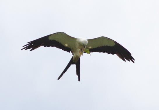 Swallow-tailed Kite (Elanoides forficatus) ©Flickr Dave Curtis