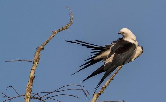 Swallow-tailed Kite (Elanoides forficatus) ©Flickr John Sutton