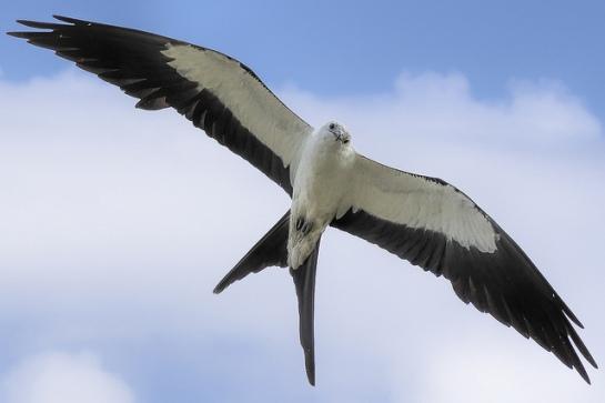 Swallow-tailed Kite (Elanoides forficatus) ©Flickr Lawrence Crovo