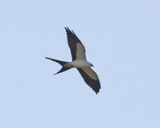 Swallow-tailed Kite (Elanoides forficatus) ©Flickr Lip Kee Yap