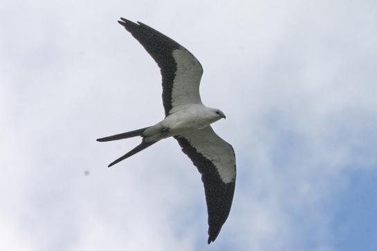 Swallow-tailed Kite (Elanoides forficatus) ©Flickr Ron Knight