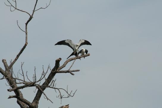 Swallow-tailed Kite (Elanoides forficatus) ©Florida Fish and Wildlife