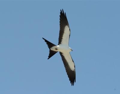 Swallow-tailed Kite (Elanoides forficatus) ©WikiC