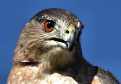 Cooper's Hawk (female) mug shot