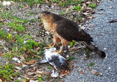 Accipiters and Alcids - Cooper's Hawk with caught bird