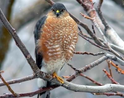 Sharp-shinned Hawk (Accipiter striatus) ©Lakewire