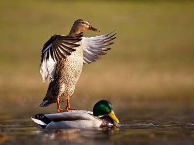 Mallard (Anas platyrhynchos) One in and One Out of the Water ©Slodive