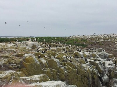 Atlantic Puffin Colony on Farne Islands, near England's Northumberland Coast