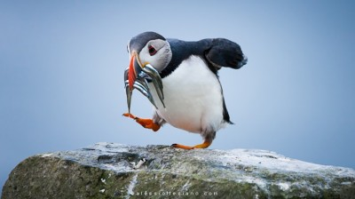 Atlantic Puffin on the march