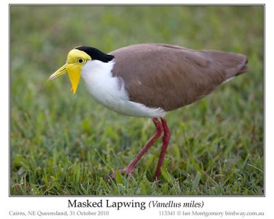Masked Lapwing (Vanellus miles) by Ian 1