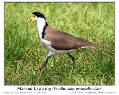 Masked Lapwing (Vanellus miles) by Ian 2