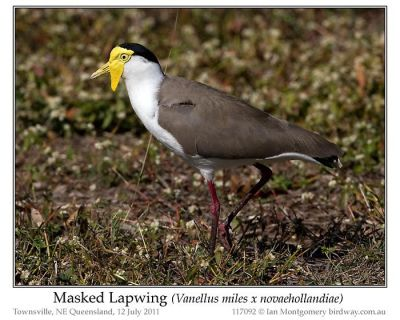 Masked Lapwing (Vanellus miles) by Ian 3