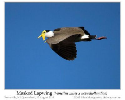 Masked Lapwing (Vanellus miles) by Ian 5