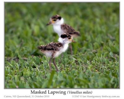 Masked Lapwing (Vanellus miles) Chicks by Ian 7