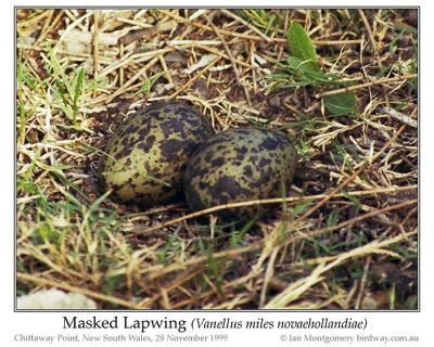 Masked Lapwing (Vanellus miles) eggs by Ian 6