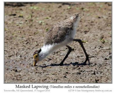 Masked Lapwing (Vanellus miles x novaehollandiae) Immature by Ian 6