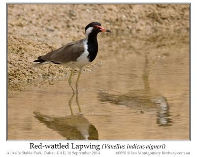 Red-wattled Lapwing (Vanellus indicus aigneri) Western Race by Ian