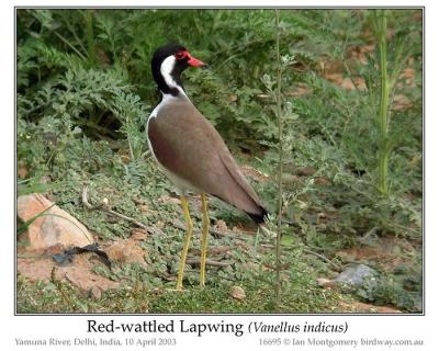 Red-wattled Lapwing (Vanellus indicus) by Ian