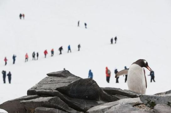 Gentoo Penguin Seems To Be Plucking (picking) up a tourist ©Nat'l Geo
