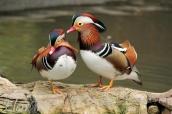 Mandarin Ducks Together ©Elenarts