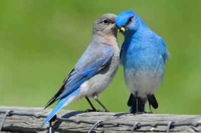 Mountain Bluebird, male (R) & female (L) ©Mickey Barnes / from Birds & Blooms