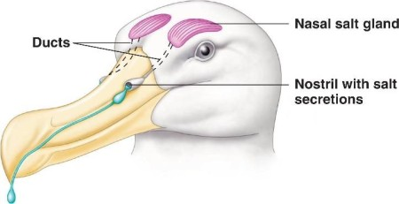 Nasal Salt Gland ©Niceweb