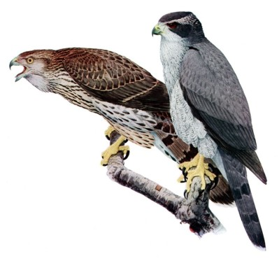 Northern Goshawk - Juvenile (brown) adults (grey)