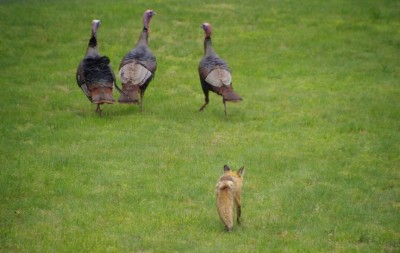 Fox following, stalking, turkeys. ©AnimalWallXYZ