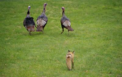 Fox following, stalking, turkeys. ©AnimalWallXYZ