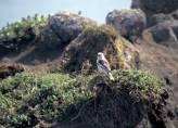 McKay's Bunting (Plectrophenax hyperboreus) ©USFWS