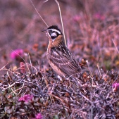 Smith's Longspur (Calcarius pictus) ©©jerryoldenettel