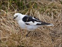 Snow Bunting (Plectrophenax nivalis) by Ian