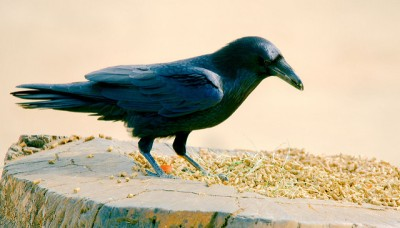 Raven Feeding ©Flickr Josh More