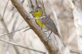 Oriente Warbler (Teretistris fornsi) ©Arthur Grosset