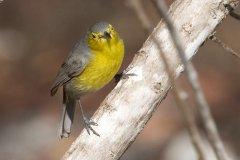 Oriente Warbler (Teretistris fornsi) ©Arthur Grosset.