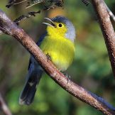 Oriente Warbler (Teretistris fornsi) ©WikiC