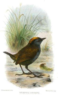 Wrenthrush (Zeledonia coronata) ©Drawing WikiC
