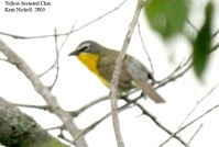 Yellow-breasted Chat (Icteria virens) by Kent Nickell