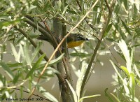 Yellow-breasted Chat (Icteria virens) by Michael Woodruff