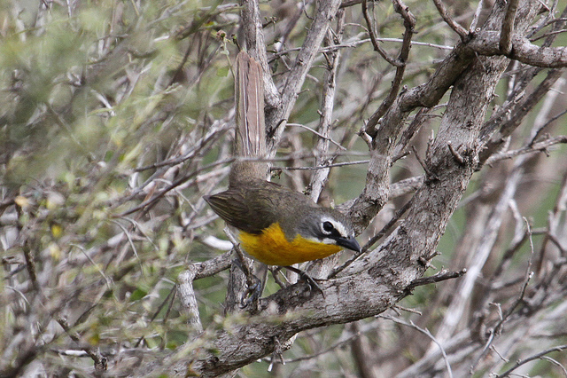 Yellow-breasted Chat (Icteria virens) ©Flickr Jamie Chavez