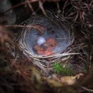 Nashville Warbler (Leiothlypis ruficapilla) Newly Hatched in Nest ©WikiC