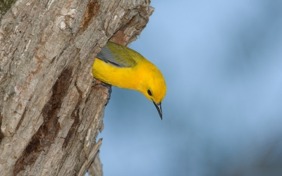 Prothonotary Warbler (Protonotaria citrea) In a cavity nest ©WikiC