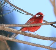Red Warbler (Cardellina rubra) ©WikiC