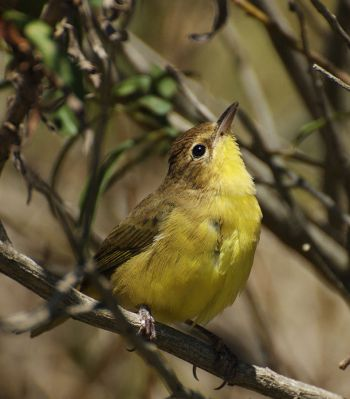 Southern Yellowthroat (Geothlypis velata) ©WikiC