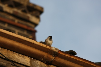 House Sparrow (Passer domesticus) on a house ©WikiC