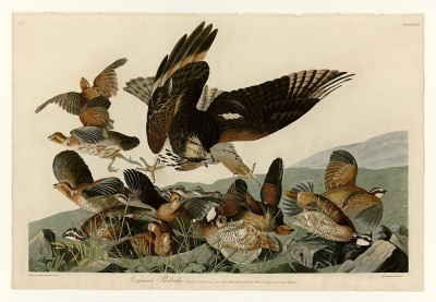 Virginia Partridge (under attack by diving hawk) depicted by John James Audubon (Public Domain)