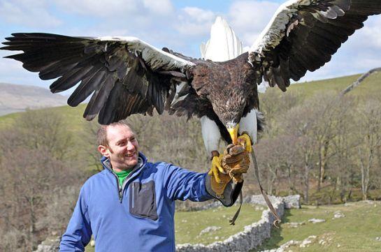 Steller's Sea Eagle (Haliaeetus pelagicus) with Man ©WikiC