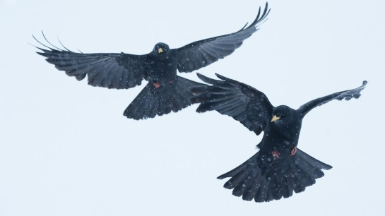 Alpine Chough, in snowy French Alps ©Static1-Philip Braude