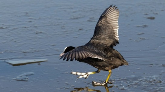 American Coot on Ice ©Graham Catley